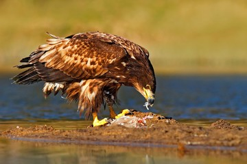 Wall Mural - Eagle with fish. White-tailed Eagle, Haliaeetus albicilla, feeding kill fish in the water, with brown grass in background, Norway. Eagle in the water. Feeding scene with eagle and fish. Bird of prey.