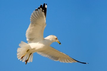 Bird in fly with blue sky. Ring-billed Gull, Larus delawarensis, from Florida, USA. White gull in flight with open wings. Action scene in nature. Wildlife from Florida coast.