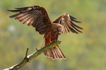 Bird of prey on the tree branch. Black Kite, Milvus migrans, brown bird sitting larch tree branch with open wing. Animal in the nature habitat. Black Kite in the forest. Action wildlife scene, Germany