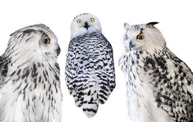 Fotoväggar - three isolated white owls