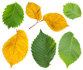 set from yellow and green leaves of elm tree
