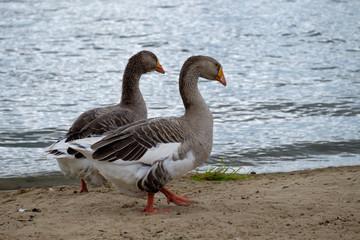 Два гуся серого цвета прогуливаются по берегу реки