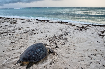 Sea turtle on the beach in Diani Beach, Kenya