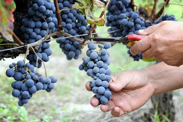 cutting ripe grape Fototapete