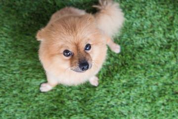 Pomeranian dog on green