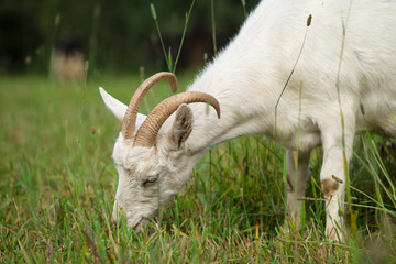 Wall Mural - white goat on the meadow eating green grass