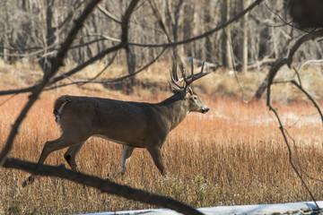 Wall Mural - Wild Whitetail Deer