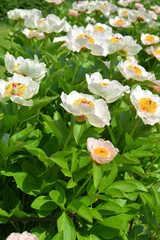 Many beautiful peony flowers in the garden in summer