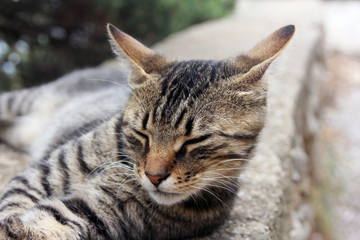 beautiful crimean non-pedigree tabby eared cat lying on stone pa