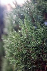 green sprig of juniperus communis the common juniper with drople
