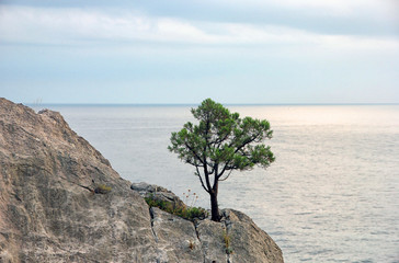 lonely crimean green pine on cliff on background of blue Black s