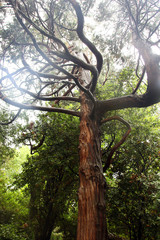 beautiful brown trunk of juniper tree with crooked and tortuous