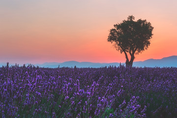 Sunset afterglow over a lavender field in French Provence, colorful landscape with purple flowers and single tree, Plateau de Valensole, France