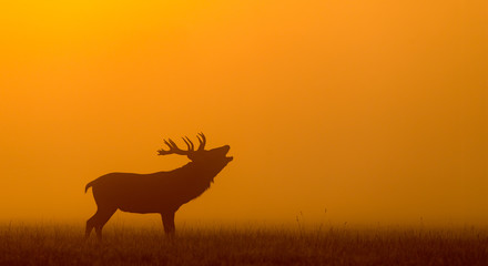 Wall Mural - red deer silhouette in the morning mist