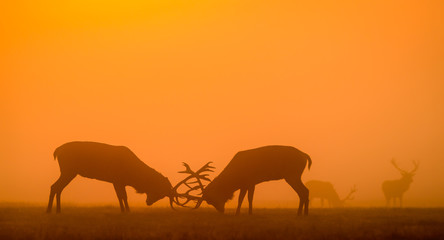 Wall Mural - red deer silhouette in the morning mist fighting