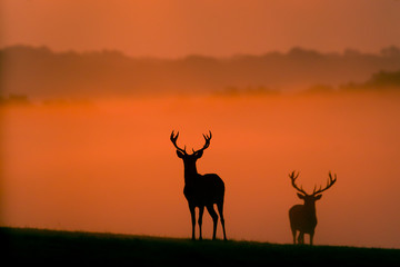 Wall Mural - two red deer silhouettes in the morning mist