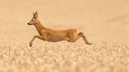 Roe buck deer leaping over a wheat field