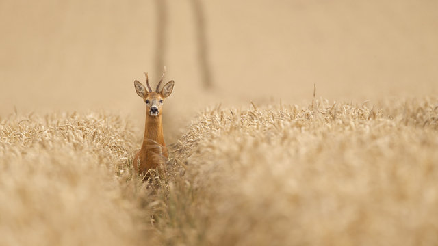 Roe deer in a wheat field looking at the camera