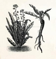 Horseradish (Armoracia rusticana, syn. Cochlearia armoracia); 10 - tapered root (from Meyers Lexikon, 1895, 7/288/289)