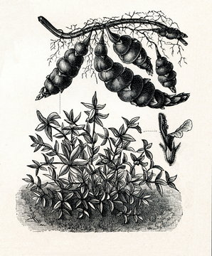 Chinese artichoke (Stachys affinis) (from Meyers Lexikon, 1895, 7/288/289)