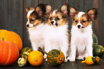 three puppies with pumpkin