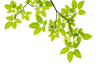 Wall Mural - Green leaf isolated on white background with clipping path.
