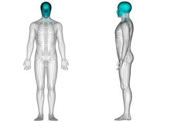 Human Skeleton Bones Anatomy