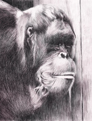 Hand drawn watercolor painting of an orangutan