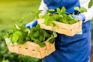 Woman keeps basket with strawberry sprouts to be planted, plant growth is made up for planting, agriculture and propagating  concept