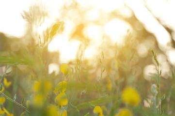 Printed kitchen splashbacks Beige blurred beautifil yellow flowers with sunlight