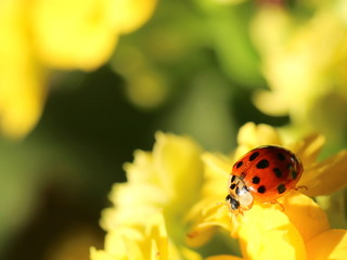 Lady Bird on a yellow flower