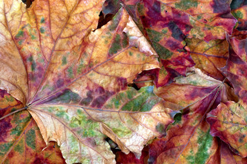 Autumn multicolor dry maple-leafs
