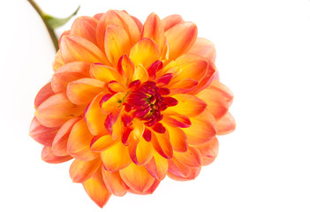Dahlia on white background