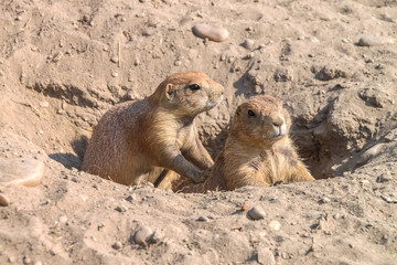 Gophers sitting in sunny sand