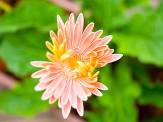 Orange gerbera flower agaisnt green blurred background
