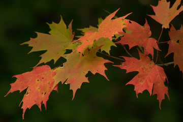 Fall Sugar Maple Tree Leaves on branch.jpg selected