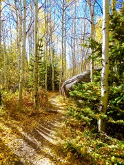 Hiking trail through colorful aspen forest in full fall colors