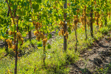 Vineyard with ripe white grapes