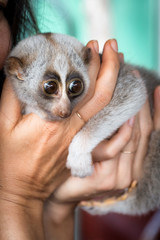 Cute slow loris being held by a tourist at a Thailand market