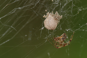 Spider on cobweb with eggs and baby spiders coming out against a blurred green background