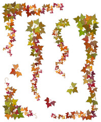 Hanging branches of autumn ivy with green, yellow and red leaves. Set of floral decorative elements isolated, on a white background.