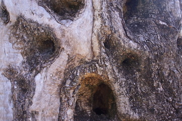 the olive grove, the original tree trunk,  trees, old