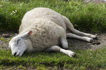 sheep sleeping on the pastures of Norway
