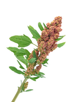 Quinoa stalk isolated on white
