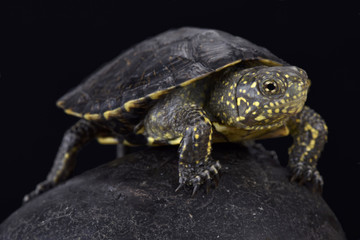 Italian pond turtle , Emys orbicularis galloitalica, Italy