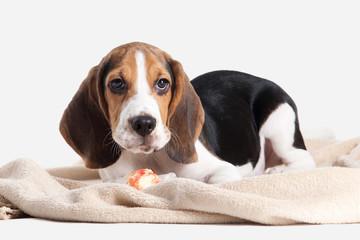 Dog. Beagle puppy portrait on a white background