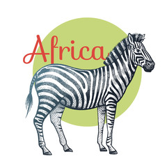 African animals zebra.