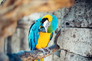 close-up of colorful blue-and-yellow macaw parrot. wilderness of indonesian rainforest