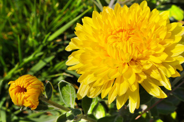 Yellow chrysanthemum flower on a background of green grass