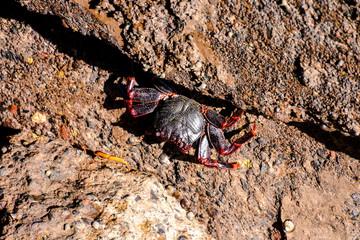 Sea animal red crab